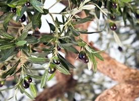 Video umělý olivovník